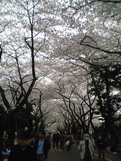 ueno_sakura.jpg